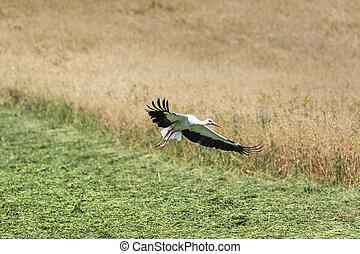 a, storch, flug, in, suwalki, landschaftsbild, park, poland.
