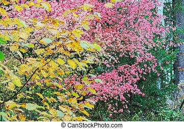 a, strauch, mit, rosa, blätter, in, herbst, warty, euonymus