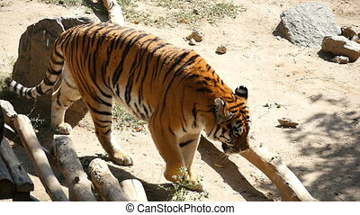 A strong tiger goes along some rocky ground covered with...