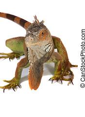 A studio photograph of a Iguana