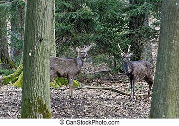 A stunning Manchurian Sika Deer (Cervus nippon mantchuricus or Cervus nippon dybowskii)