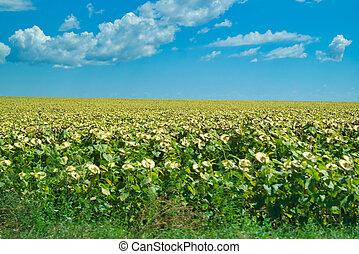 A sunflower field under the blue sky
