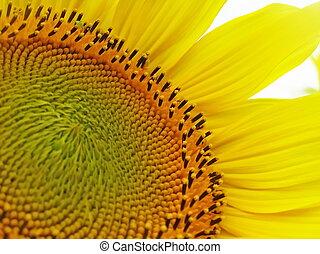 A sunflower flowers.