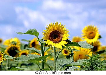 sunflower growing on a field