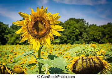 A sunflower in Jarrettsville, Maryland.