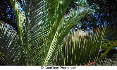 A sunny day in the warm South. The sun's rays make their way through the leaves of the palm tree. Palm leaves close-up. Tropical abstract background. Barcelona. Dolly shot.