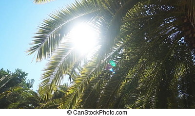 A sunny day in the warm South. The sun's rays make their way through the leaves of the palm tree. , slow motion