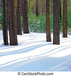 A sunny winter morning at the pine forest