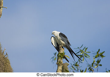 A Swallow-tailed Kite preening his feathers in a tree