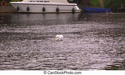 A swan and a boat on a river