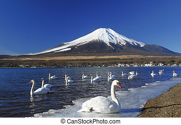 A swan party in front of Mount Fuji - japan