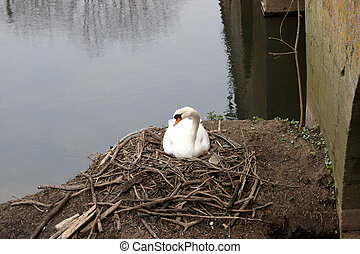 A swan sitting on her nest