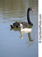 a swan with her baby