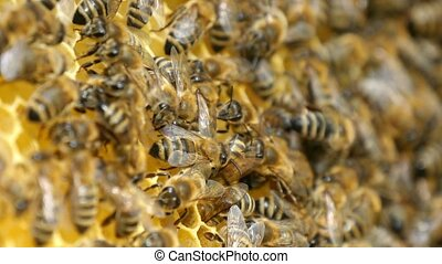 A swarm of bees crawl over theit beemother in a beehive in...