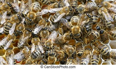A swarm of bees creep on the beecomb hexagons with honey and...