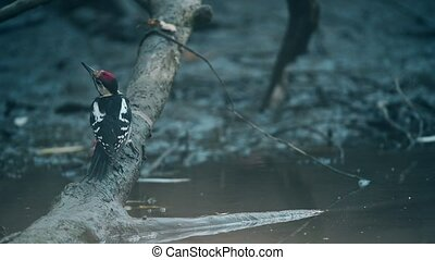 A Syrian woodpecker or Dendrocopos syriacus close - Syrian...