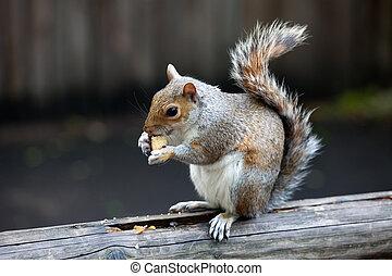 a, szürke mókus, alatt, egy, közül, london, dísztér