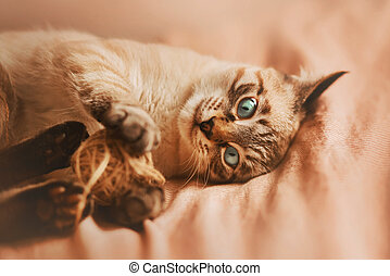 A tabby cheerful Thai kitten with blue eyes lies on a pink blanket on the bed and actively plays with a ball of wool rope. Home comfort.