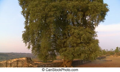 A tall tree by a stone wall - A hand held, tilting, medium...