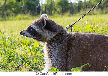 A tame Raccoon with leading reins. - A tame Raccoon is...