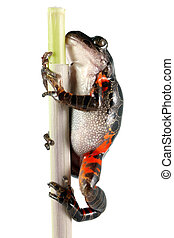 A Tanzanian Tiger Leg Frog (Kassina Maculata) on a plant stem shot on a solid white background. Also known as the red legged running frog or brown spotted tree frog, this frog inhabits Kenya, Malawi, Mozambique, South Africa, Swaziland, Tanzania, and Zimbabwe.