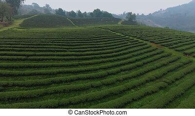 A close up shot of a tea plantation