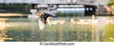 Bird Pigeons fly