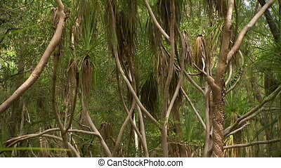 A thick grove of cabbage palm trees - Tilt from the bottoms...