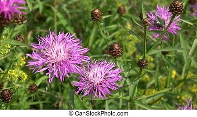 A thistle flower on a meadow
