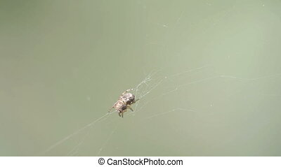 A Thomisidae spider on the spider web