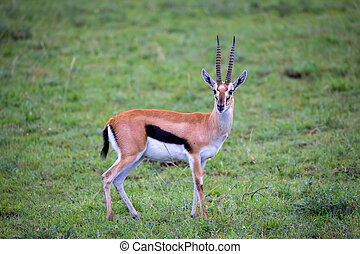Thomson's Gazelle in the grass landscape of the savannah in Kenya