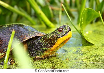Blandings Turtle (Emydoidea blandin - A Threatened Blandings...