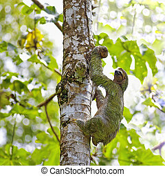 Three-toed Sloth - A Three-toed Sloth climbing down the tree...