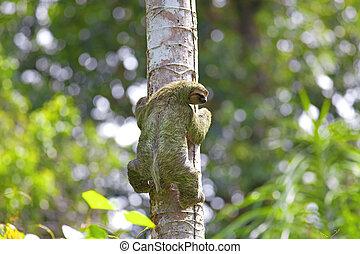 A Three-toed Sloth climbing down the tree in Manuel Antonio...