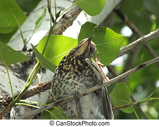 A thrush on a tree branch