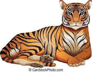 a, tiger