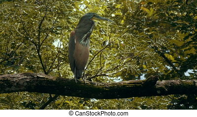 A Tiger Heron perched on a branch in a Costa Rica rainforest...
