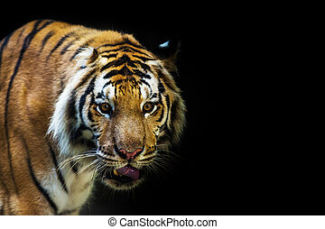 A tiger ready to attack looking at you