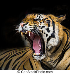 A tiger ready to attack