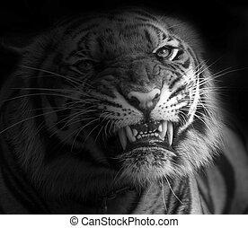 Tiger Attacking Stock Photo Images 1310 Tiger Attacking Royalty