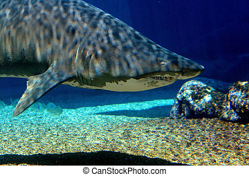 tiger shark - a tiger shark swimming in water