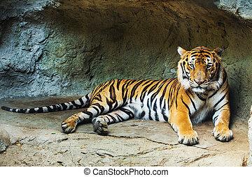 a, tiger, sitzen, in, a, zoo.