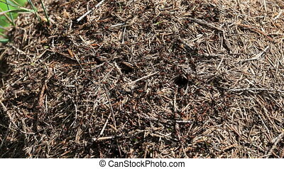 time lapse anthill close-up in the forest