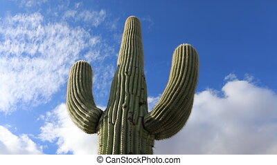 Timelapse looking up at large Saguaro Cactus - A Timelapse...