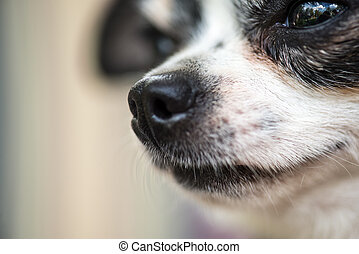 a tiny chihuahua dog portrait, extreme closeup macro shot. With world reflected in its eyes. Emotional picture