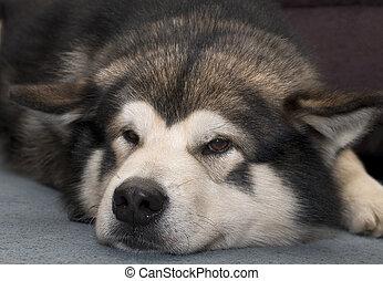 A tired Alaskan Malamute dog