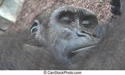 A Tired Gorilla Sleeping