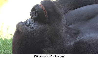 A Tired Gorilla Yawning