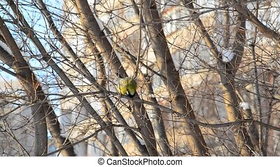 Titmouse sitting on the tree branch in the winter - A...