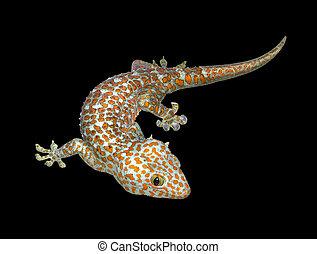 Tokay gecko - a Tokay gecko in black back